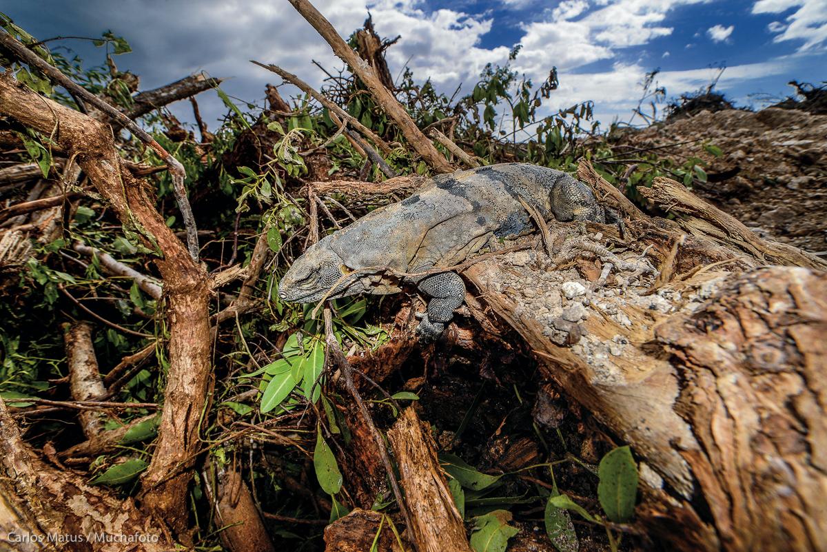 Una iguana recorre el montículo de manglar que fuera su hogar, luego de que maquinaria pesada deforestara 59 hectáreas del ecosistema en Tajamar, en Cancún, Quintana Roo, el 18 de enero de 2016.  Fotografía: Carlos Matus / Muchafoto